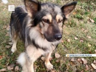 В Новобирилюссах преданный пес уже несколько недель на одном месте ждет хозяина