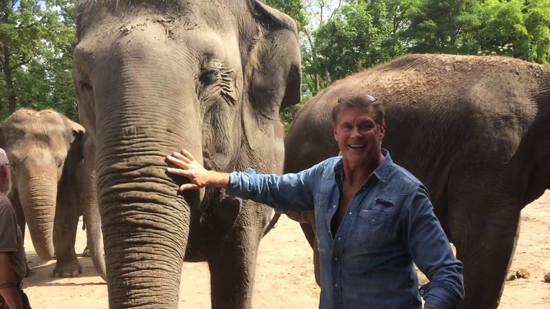 The Hoff and the Elephants