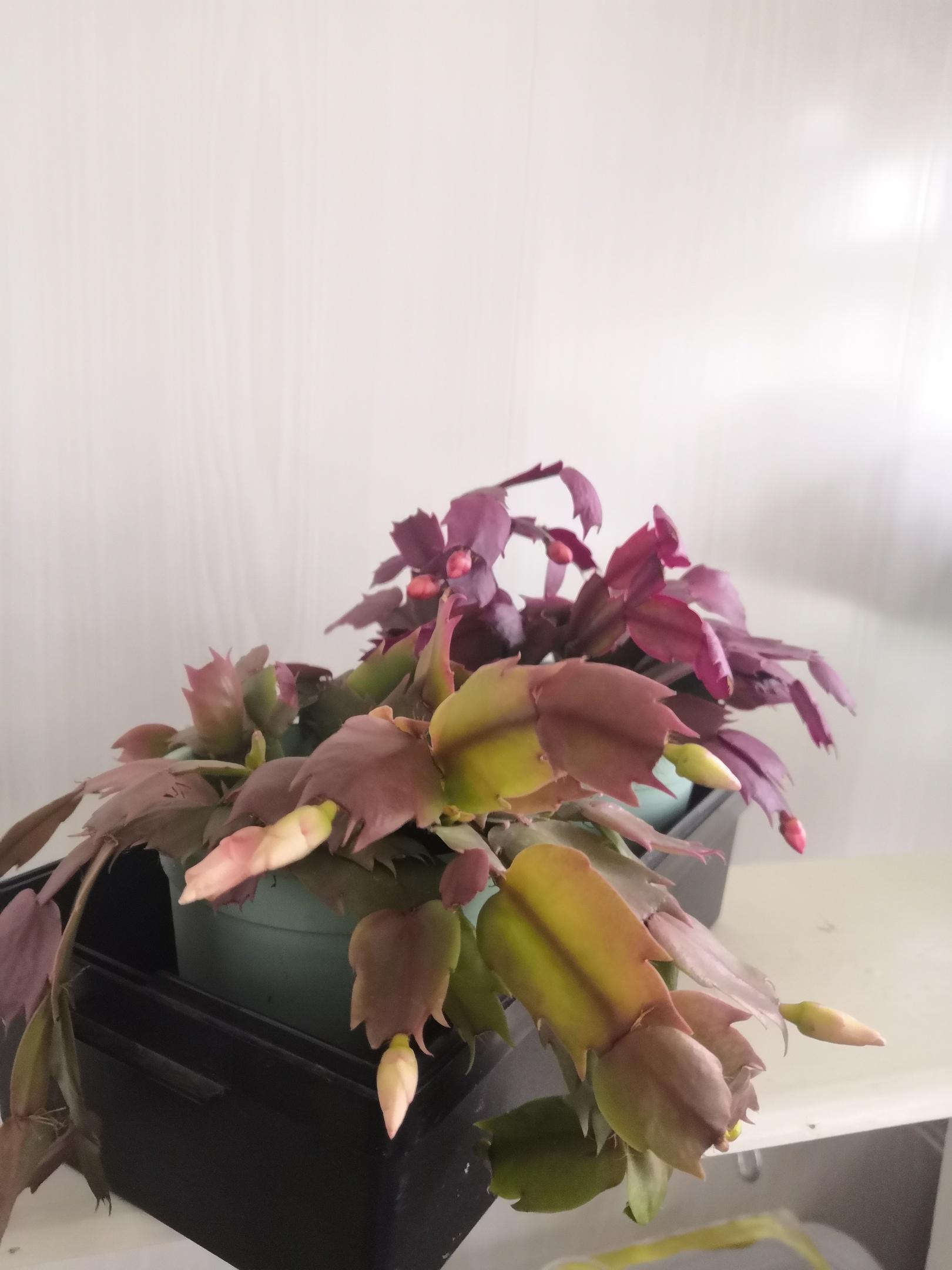 """Лесные кактусы """"Декабристы"""" (Шлюмбергеры, Рипсалидопсисы, Эпифиллумы) - Страница 7 YSaFOtJ62gQ"""