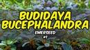 Budidaya Bucephalandra Sistem Darat   Emerseed Bucephalandra