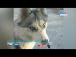 В Томске ищут потерявшуюся голубоглазую собаку Луну