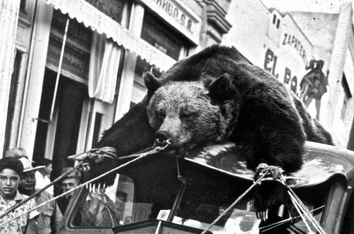 Последнего мексиканского медведя гризли демонстрируют публике, Мексика, 1954 год.