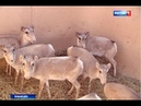 В Орловском районе выпустили 8 молодых сайгаков