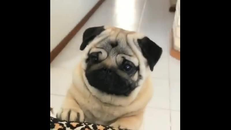 Pugs do drugs