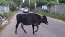 Экология дороги в город-мечту. Индия. Дорога на Ауровилль. Корова отказалась сниматься