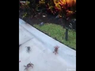Сотни крабов атакуют жителей Флориды