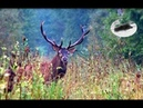Red stag hunting during the rut - best moments 2017