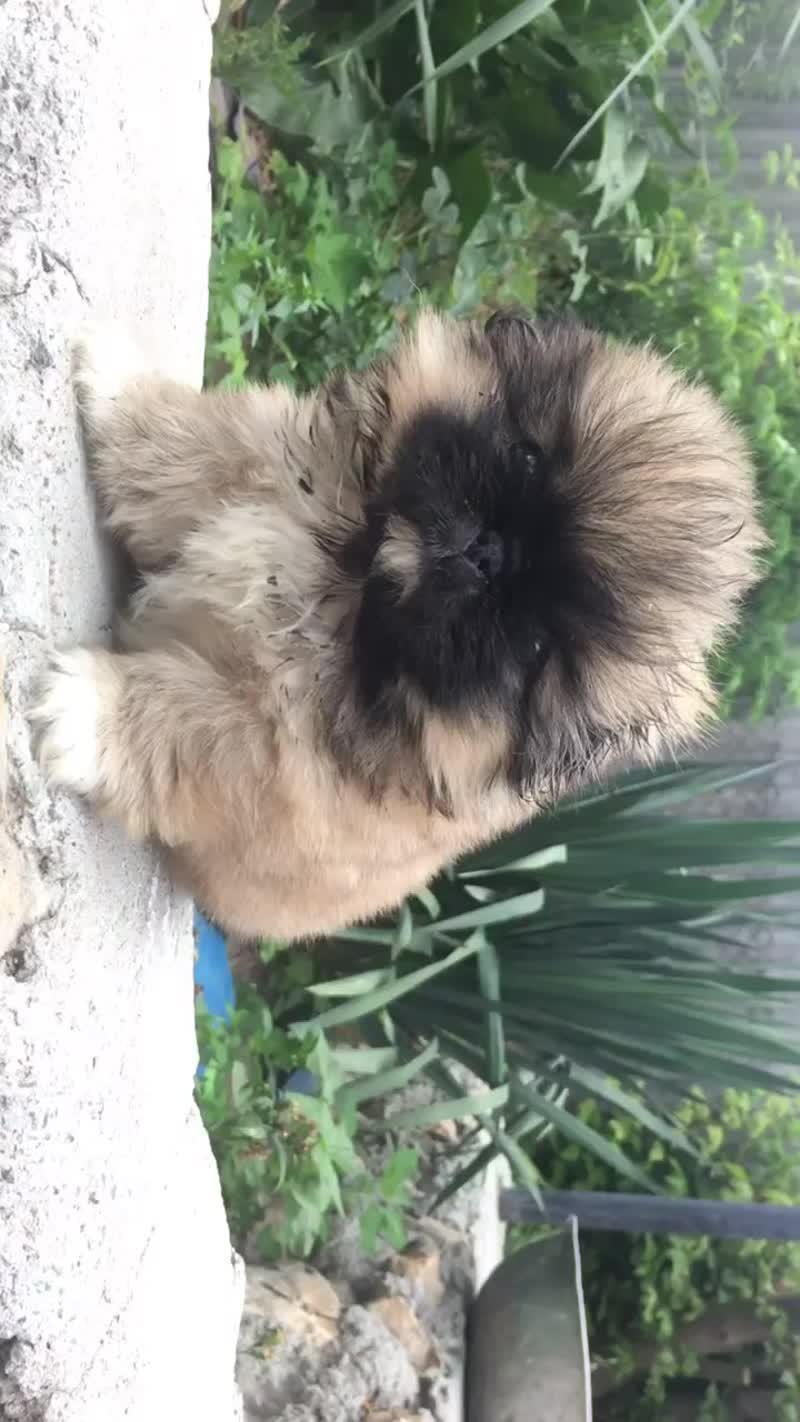 Продам щенка пекинеса(Девочка)