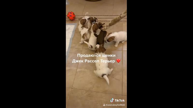 Продаются щенки Джек Рассел Терьер 🐶