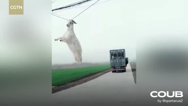 New Specie Discovered The Powerline Goat