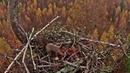LDF Jūras ērglis~A squirrel visit the nest~ 12:18 PM 2019/10/21