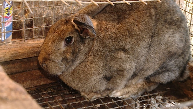 Кролики-исполины и нутрии - на городском подворье волгоградца