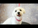 Grooming Guide - How to Groom a Maltese 16