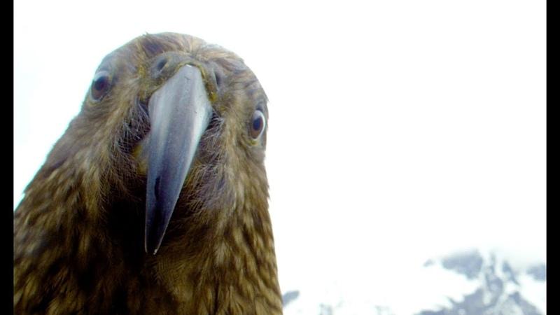 Robotic Parrot Talks To Kea Parrot