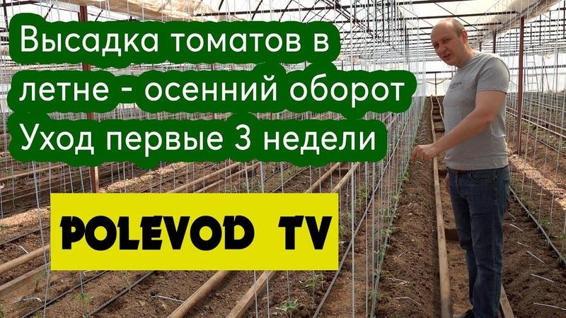Высадка томатов в летне осенний оборот Уход первые 3 недели