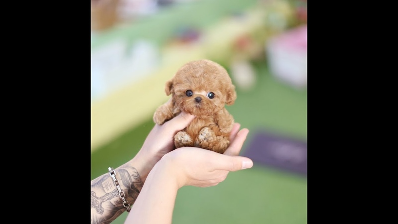 True Toy Poodle Teacup Dog