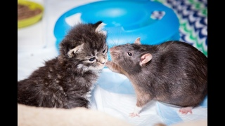 Brooklyn Cat Cafe Employs Rats To Care For Kittens   CUTE AS FLUFF