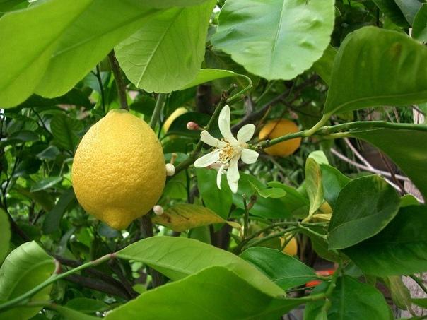 Уход за домашним лимоном Наибольшей популярностью среди цветоводов пользуются карликовые или полукарликовые лимонные деревца. К ним относятся сорта: Мейера, Майкопский, Павловский, Эврика,