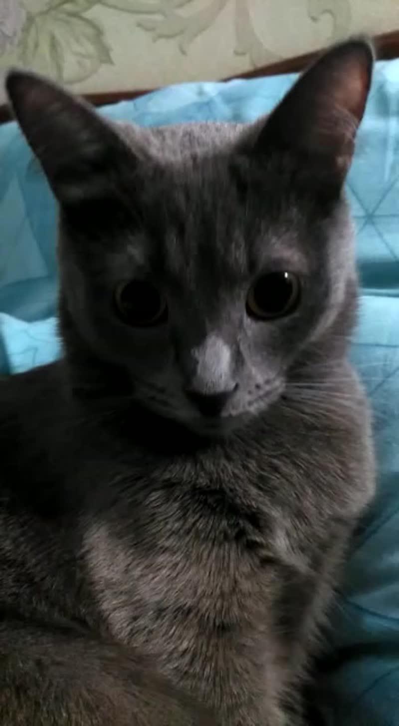 Маруся кошка русская голубая