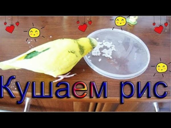 Как давать волнистому попугаю рис Как я даю рис Варить или замачивать рис попугаю