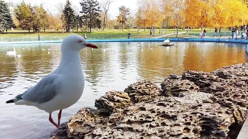 Чайки и лебеди на озере в красивом осеннем парке.