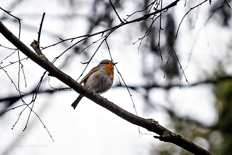 «Королёк -птичка певчая». Он же малиновка. Помните песню – «Малиновки заслышав голосок…»? Наталья: «Лично я первый раз увидела малиновку и мне сразу же посчастливилось её снять. Правда же красивая птичка?»