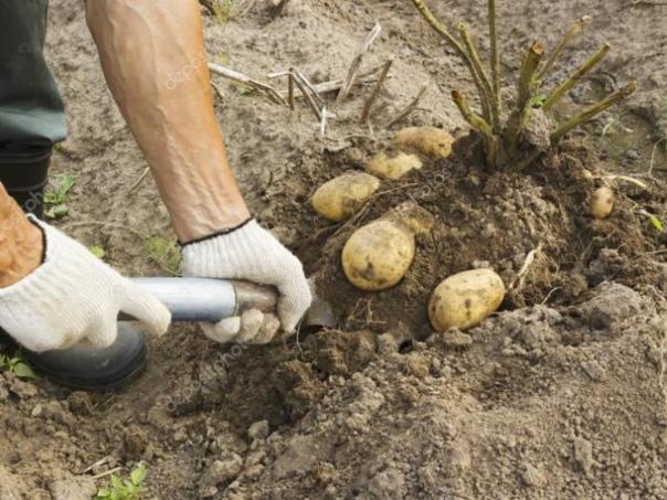 Зачем обрезают ботву у картофеля