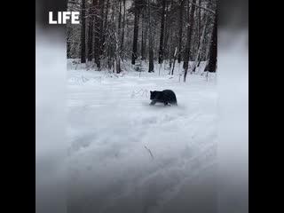 Пантера, воспитанная псом