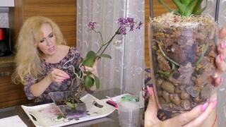 Орхидея Дикий Кот четыре месяца в одной поре ... Ерунда какая-то... Корни не нравятся...Пересаживаю.