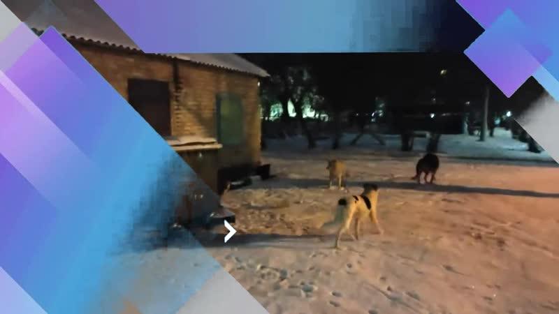 Стая собак в центре города