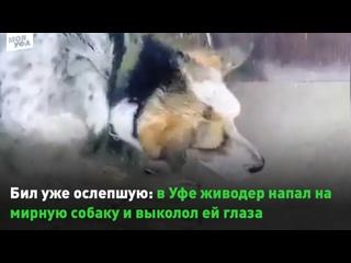 Бил уже ослепшую: в Уфе живодер напал на мирную собаку и выколол ей глаза