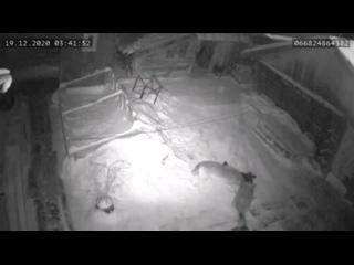 Волки загрызли собаку