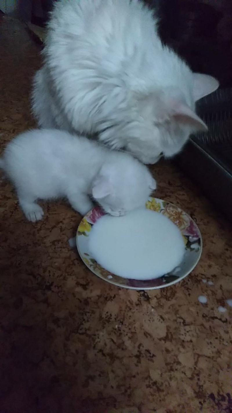 Мама кошка учит котят пить молоко