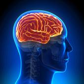Головной мозг,артерии и вены  (фикс.цена)
