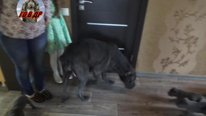 В Воронеже собака породы кане-корсо родила 19 щенков🐕🐕🐕