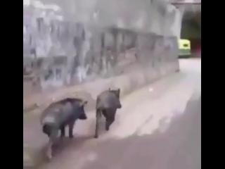 Свиньи — это всеядные животные. Они едят много, отсюда выражение «Ты ешь как свинья», и практически без разбора.