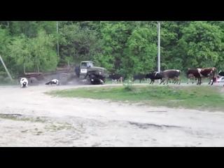 Сбили стадо коров на проезжей части