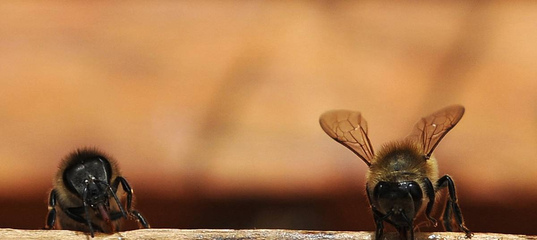 "Биологи открыли ""зомбирующий"" пчел вирус"