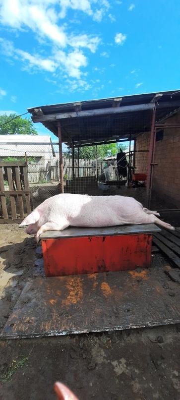 Свинина домашняя, своё хозяйство, | Объявления Орска и Новотроицка №19011