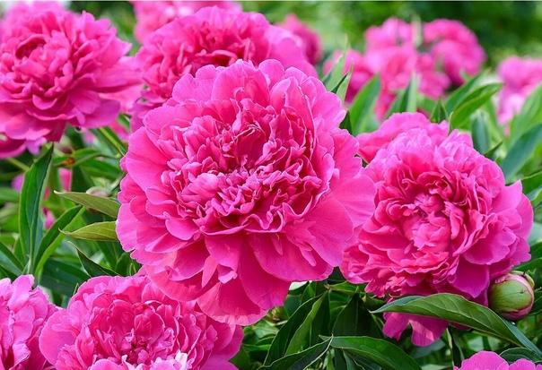 В Петербург пришло время цветения пионов.