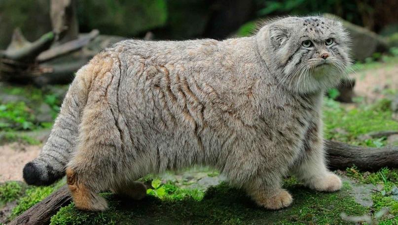 Дикий кот степей и гор — Манул. | ВКонтакте