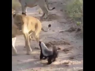 Не лев - царь зверей, а медоед!