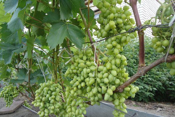 Правила выращивания хорошего винограда