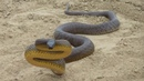 Самая ядовитая змея в мире! Тайпан - опасная змея СТРАШНЕЕ кобры. Змея в деле! Факты о тайпанах.