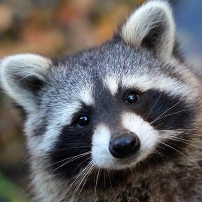 Raccoon Smart, Ust-Ilimsk