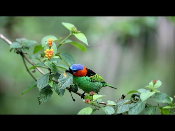 Red-necked tanager Синешапочная танагра Tangara cyanocephala