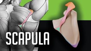 Scapula (the shoulder blade) - the Upper Limb bone anatomy for artists