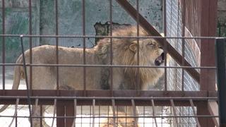 КРАСИВЫЙ львиный прайд Руслана, Султана и Гирея! И другие львы и шикарные красавцы тигры!
