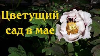 МАЙСКИЕ ЗАРИСОВКИ цветущего сада 🌸  САДЫ ЦВЕТУТ и благоухают 🌸  САД 2020 обо всем по не многу
