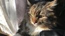 Коварная бабушка и Хвост - предатель. Сибирский кот Уссури.